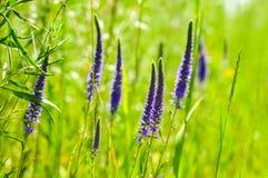 Purpurfärgade blommande vildblommor Royaltyfria Foton