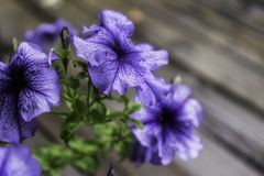 Purpurfärgade blommor är flott se i trädgården royaltyfri bild