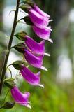 Purpurfärgade blommor Royaltyfri Bild
