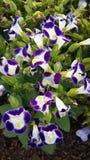 Purpurfärgade blommor Fotografering för Bildbyråer