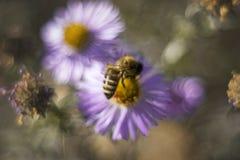 Purpurfärgade blommor alpin aster och bi för makro arkivfoton