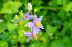 Purpurfärgade blommor av örter (Solanumindicum L ), Royaltyfri Fotografi