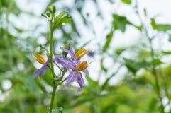 Purpurfärgade blommor av örter (Solanumindicum L ), Arkivbilder