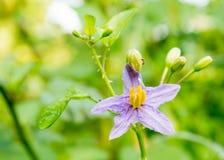 Purpurfärgade blommor av örter (Solanumindicum L ), Arkivfoton