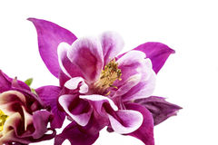 Purpurfärgade blommor av Aquilegia vulgaris som isoleras på vit backgroun Royaltyfria Foton