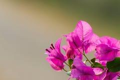 Purpurfärgade blommor av bougainvilleaträdet Royaltyfria Bilder