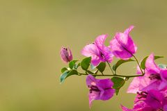 Purpurfärgade blommor av bougainvilleaträdet Arkivbilder