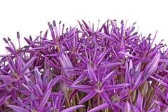 Purpurfärgade blommor av den dekorativa löken hybrid- Globemaster isolerade nolla Arkivbilder