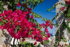 Purpurfärgade blommor av en grekisk bouganvillea Arkivbilder