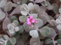 Purpurfärgade blommor av en kaktus, Berlin-dahlem botanisk trädgård arkivfoto