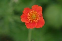 Purpurfärgade blommor av löken Royaltyfria Bilder