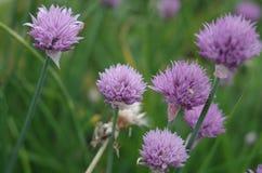 Purpurfärgade blommor av löken Arkivbild