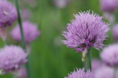 Purpurfärgade blommor av löken Royaltyfri Foto