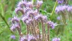 Purpurfärgade blommor av phaceliaen lager videofilmer