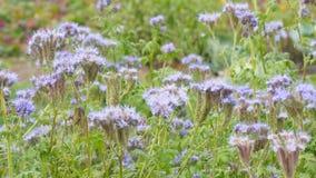 Purpurfärgade blommor av phaceliaen arkivfilmer
