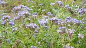 Purpurfärgade blommor av phaceliaen stock video