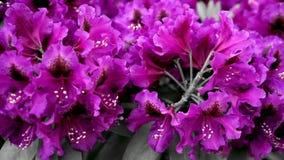 Purpurfärgade blommor av rhododendron Kameraflyttningarna drar tillbaka på glidaren Färgkorrigering stock video