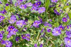 Purpurfärgade blommor av Solanumrantonnetiien royaltyfri foto