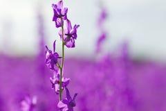 Purpurfärgade blommor för Consolidaajacis att stänga sig upp royaltyfria bilder