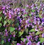 Purpurfärgade blommor i naturvårsol Arkivbild