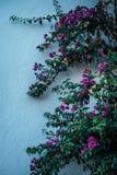 Purpurfärgade blommor mot en vit vägg royaltyfri foto