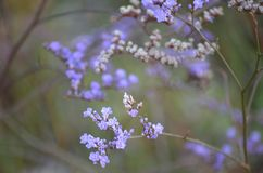 Purpurf?rgade blommor och gr?na f?lt p? en sommardag Verbenablommor mot ett f?lt av blommor, selektiv fokus arkivfoton