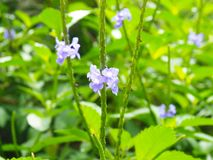 Purpurfärgade blommor på den Roatan ön royaltyfria foton