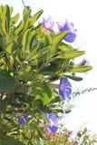 Purpurfärgade blommor på gatavinrankor arkivfoton