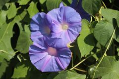 Purpurfärgade blommor på gatavinrankor royaltyfri fotografi