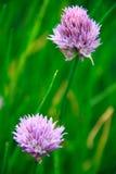 Purpurfärgade blommor Arkivfoton