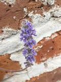 Purpurfärgade blommor på tegelstenväggen arkivbild