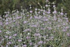 Purpurfärgade blommor som är matta med ljust - gröna sammetstjälk fotografering för bildbyråer