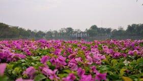 Purpurfärgade blommor som blommar på dammet i stad, parkerar, Bangkok Arkivbild