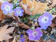 Purpurfärgade blommor som får hösten i Falkensee royaltyfri foto