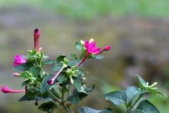 Purpurfärgade blommor som förlängas, som ametist, med knoppar bredvid dem arkivfoto
