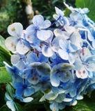 Purpurfärgade blommor som har blommat royaltyfri foto