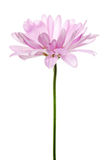 Purpurfärgade Daisy Flower Daisies Floral Flowers Royaltyfri Foto