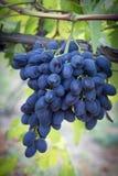 Purpurfärgade druvadruvor på vinranka i trädgård arkivfoto