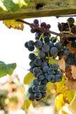 Purpurfärgade druvor på Vine Arkivbild