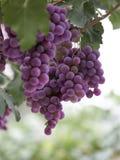 Purpurfärgade druvor som hänger på druvaträd royaltyfria foton