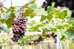 Purpurfärgade druvor som hänger på filialerna royaltyfria foton