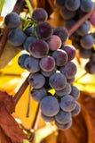 Purpurfärgade druvor som växer på vinranka i vinvingård Royaltyfri Fotografi