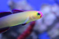 Purpurfärgade firefish Arkivfoton