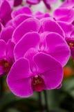 Purpurfärgade fjärilsorkidér för Closeup Arkivfoto