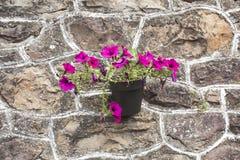 Purpurfärgade flores Royaltyfri Bild