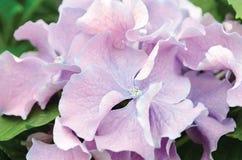 Purpurfärgade Fripon vanlig hortensiablommor Royaltyfria Bilder