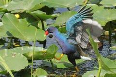 Purpurfärgade Gallinule - Evergladesnationalpark arkivbilder