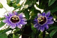 Purpurfärgade Haze Passifloras Arkivbild