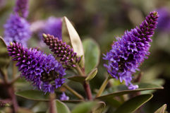 Purpurfärgade hebeblommor royaltyfria foton