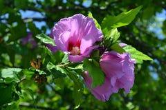 Purpurfärgade hibiskusblommor Arkivfoton